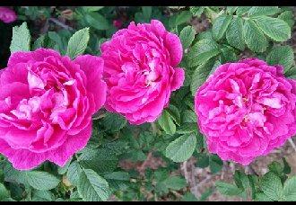食用玫瑰怎么栽培?食用玫瑰的栽培技术