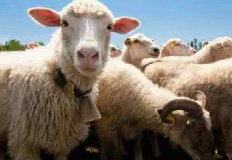 秋天养羊常见的疾病以及防治措施