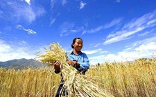 西藏:让农牧民成为丰收节主角