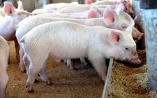<b>探寻丹麦的有机猪养殖 寻求农业发展新机遇!</b>