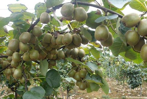 四川邱林村:猕猴桃种植成为脱贫致富的产业