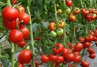 <b>辽宁柏榆镇:冷棚西红柿让贫苦户迈开步伐实现脱贫致富</b>