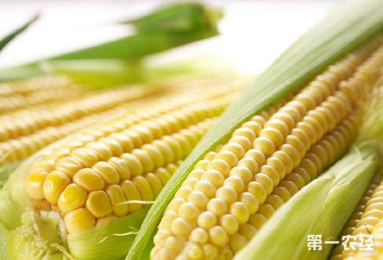 2018年新季玉米开秤价又涨了?东北新玉米收购价