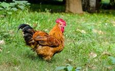 <b>什么会导致养鸡场孵化率低?原来是这七个原因!</b>