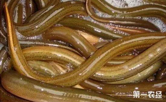 鳝鱼的种类有哪些_黄鳝分多少种_黄鳝