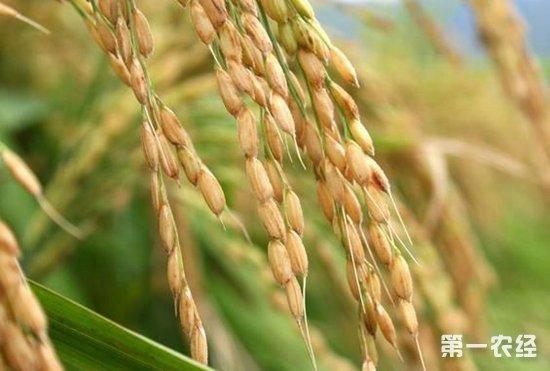 """国审稻新品种""""中科804""""发布,农艺性状方面表现突出"""