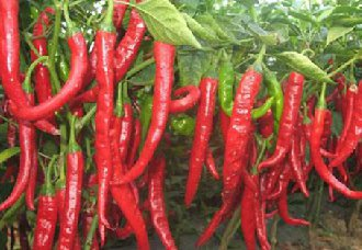 导致辣椒黄叶的病虫害以及防治措施