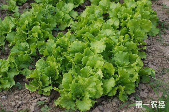 生菜常见的病虫害以及防治措施