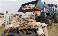 非洲猪瘟肆虐 罗马尼亚已无害化处理5万头猪