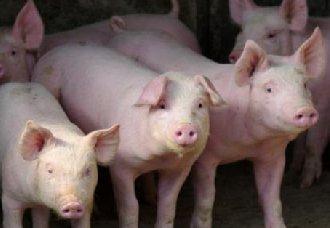 <b>专家预测:年底生猪价格会上涨 但今猪价仍是以跌为主</b>