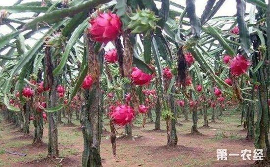 火龙果什么时候种植?火龙果的种植技术