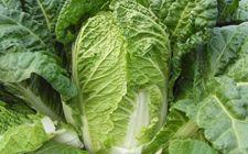 大白菜种植为什么会烂根?大白菜烂根的原因及防治方法