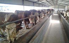 <b>肉牛的中暑的原因、症状及防治方法</b>