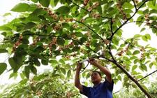 <b>吴道成:用大数据开展科技化猕猴桃种植</b>
