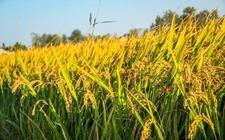 江西南昌县:水稻种植又迎来一个丰收年