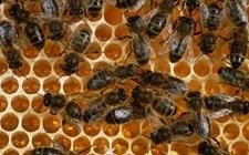 蜜蜂为什么会大批量死亡?蜂农们怎么预防蜜蜂大量死亡?