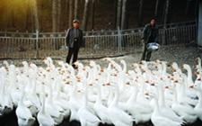 种鹅的饲养管理技术,各个阶段有所不同!