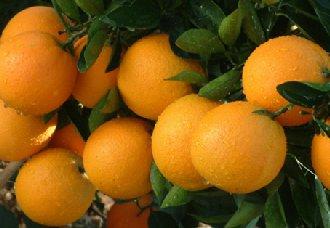 <b>脐橙常见的病虫害以及防治措施</b>