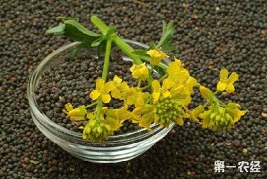 农科院:7D菜籽油加工技术,助力油菜发展新业态