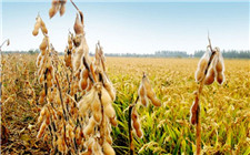"""""""中黄13""""播种过亿亩 成我国种植面积最广的大豆品种"""