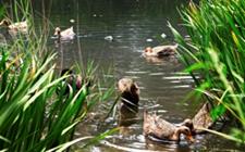 鸭突然瘫痪是什么原因造成的?采取什么防治措施?