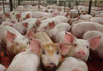 <b>生猪调运受限制 我国部分主销区生猪价格明显上涨</b>