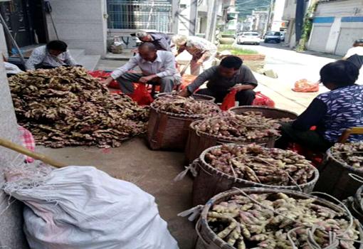 浙江:东阳残联与爱心人士携手让5000公斤滞销生姜销售一空