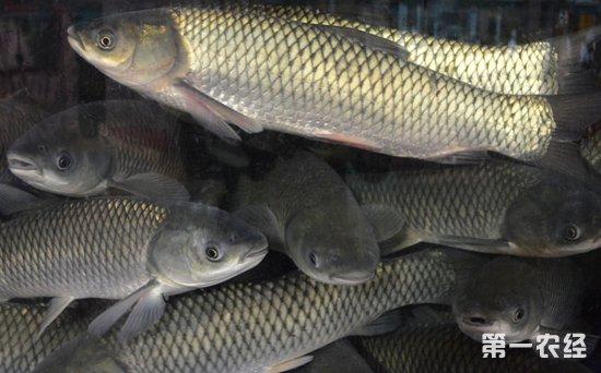 2018年9月26日华南地区草鱼价格行情