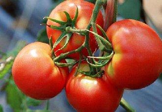 西红柿芽枯病要怎么治?西红柿芽枯病的防治措施