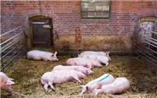 非洲猪瘟在全球蔓延 比利时扑杀4000头生猪
