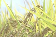 做时间的朋友:本溪香大米的进化