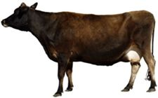 母牛产后截瘫要如何诊断?要怎么防治?