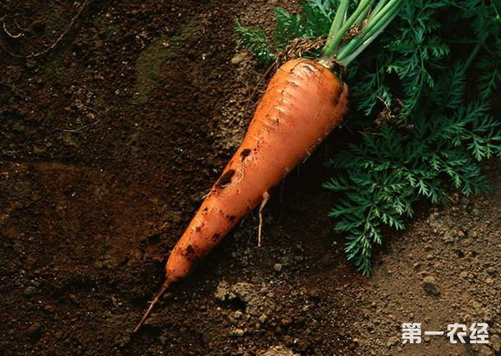 甘肃金川东村:胡萝卜成增收致富的重点项目