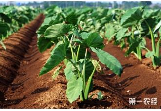 芋头常见的病虫害以及防治措施