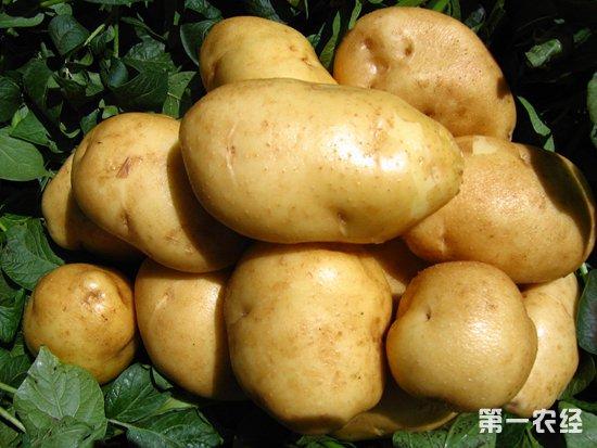 马铃薯催芽技术新突破:马铃薯种薯纳米促芽剂