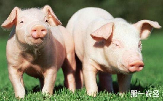 以上就是有关猪病症状的判断知识介绍。养猪户可以从猪的一般检查开始判断,比如营养状况、发育状况与精神状况、体温状况等。除此之外,还可以从猪的消化系统开始检查,比如采食状况、排粪便次数、气味、形状以及猪的口腔等多方面进行判断。养猪户们在养猪中,不但要加强饲养管理自己营养、保健等方面,也要做好平时的饲养观察,要是发现猪病的发生,要较早治疗以及各类等,才能保证猪养殖所带来的效益。