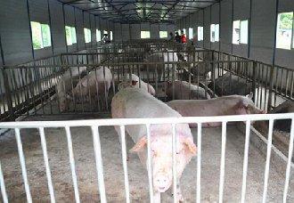 养猪场在建设中要注意什么?一定要参考这6点