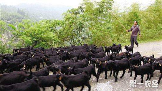四川营山:羊果产业成了农民们增收致富的希望