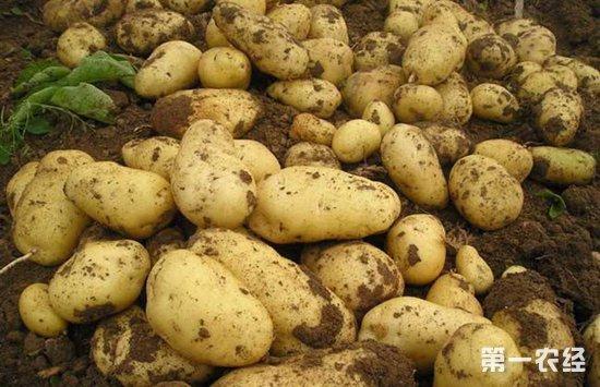 土豆膨大期的管理技术
