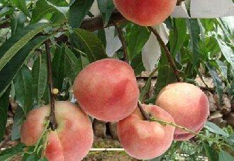 <b>桃子常见的病害以及防治措施</b>
