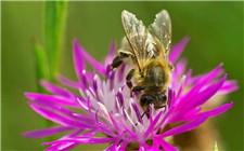 法国宣布禁用5种新烟碱类农药 为防止蜜蜂上瘾