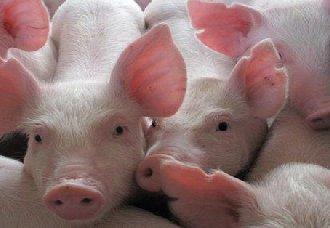 <b>猪瘟疫情仍继续影响猪价 部分地区屠宰企业有下调价格现象</b>