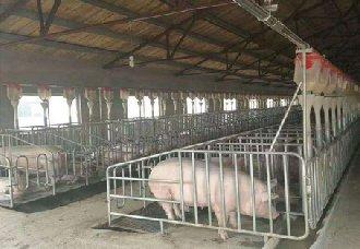 养猪场用水泥地板可以吗?选择水泥地板有什么弊端?