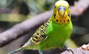 <b>虎皮鹦鹉常见的病害有哪些?要如何防治?</b>