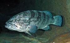 <b>石斑鱼养殖过程中会有哪些疾病?要如何防治?</b>