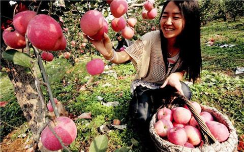 """北京市密云区""""苹""""安采摘活动 助力农产品销售"""
