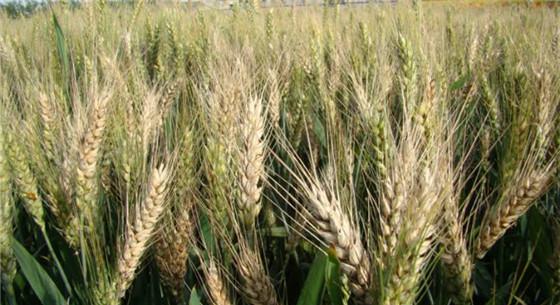 小麦赤霉病怎么防治?农业部发布权威防治方法