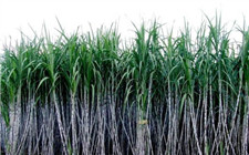 农业部:甘蔗生产后期管理注意事项