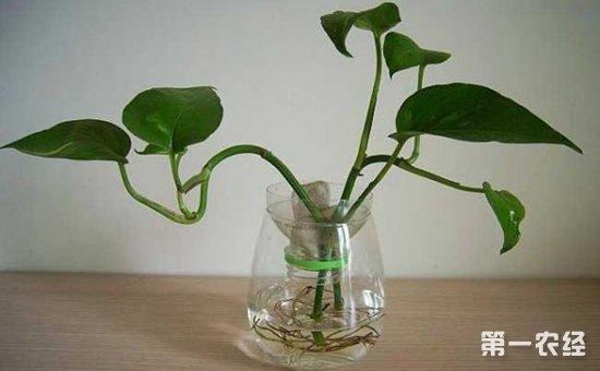 水培绿萝怎么养长得快?水培绿萝的培育技术