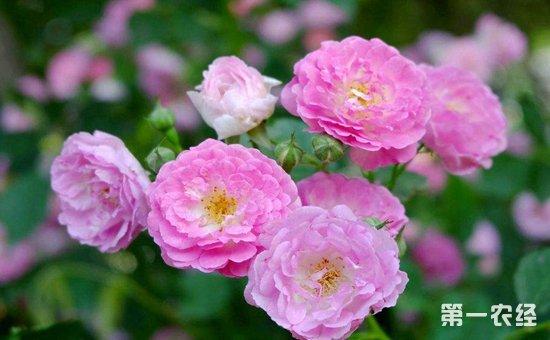 蔷薇花得白粉病怎么办?蔷薇花得白粉病的防治方法